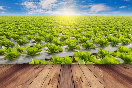 Green lettuce and wooden floor on field agricuture with blue sky Фото со стока - 37483987