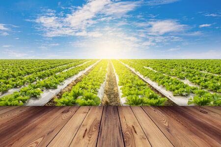 Green lettuce and wooden floor on field agricuture with blue sky photo