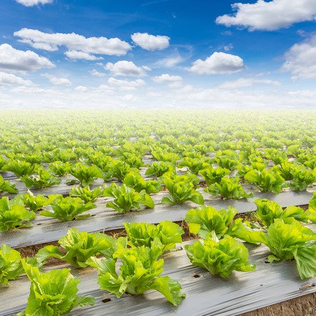 field of lettuce and a blue sky on field agriculture Фото со стока