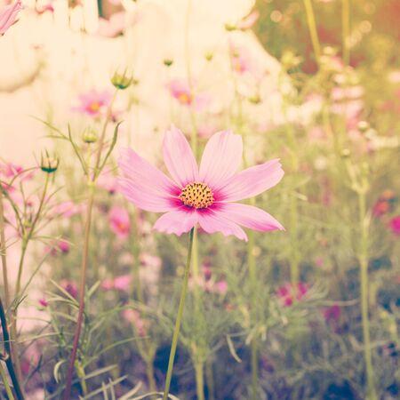 Cosmos flower vintage