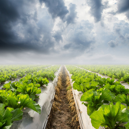 rainclouds: lettuce on field and rainclouds Stock Photo