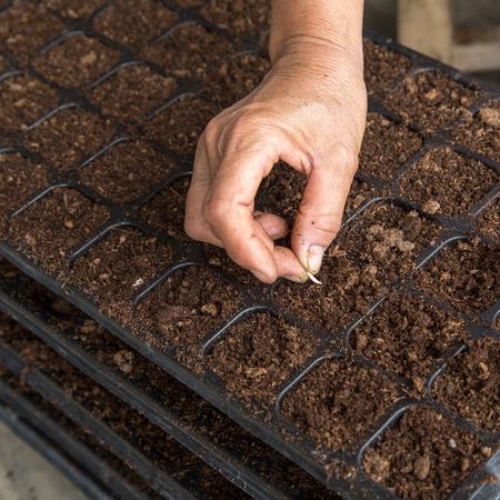 siembra: mano de la mujer la siembra de semillas de pepino en la bandeja