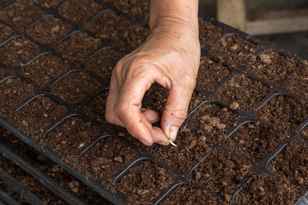 hand woman sowing cucumber seeds on tray Фото со стока