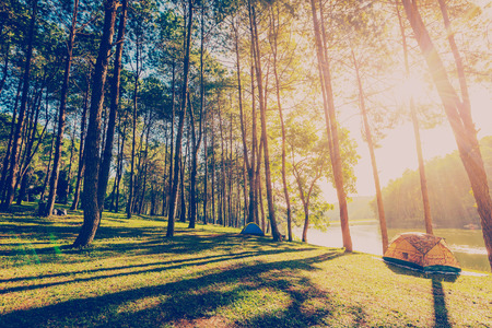 pine tree forest with sunlight and shadows at sunrise with vintage scene.