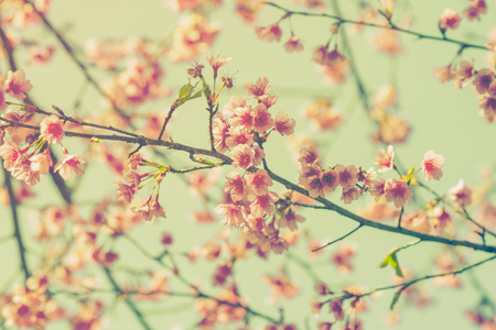 retro flowers: cherry blossom vintage and soft light for natural background