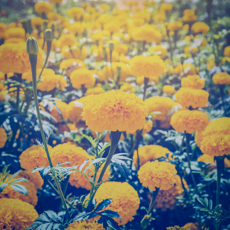 garden marigold: marigold flower in garden with vintage effect.