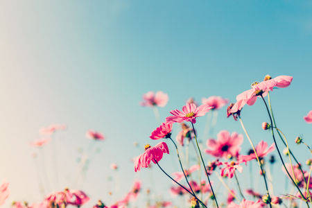 Cosmos flower with vintage filter.