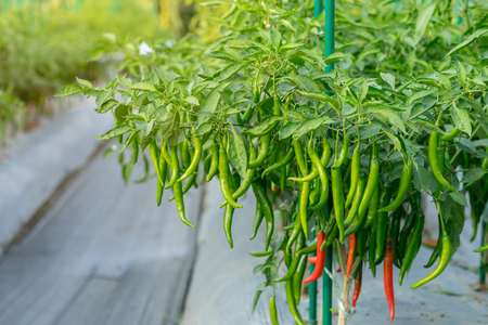Green chili pepper plant on field agriculture in garden. Banque d'images