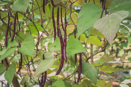 Red yard long bean plantation on field agricuture. Stock Photo