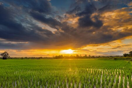 Natural scenic beautiful sunset and rice field agricultural background