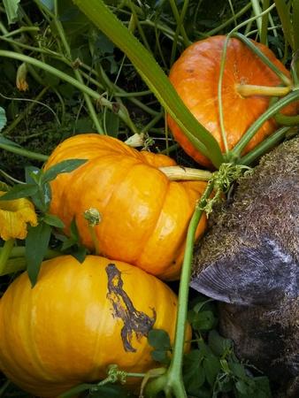 grower: Pumpkin Stock Photo