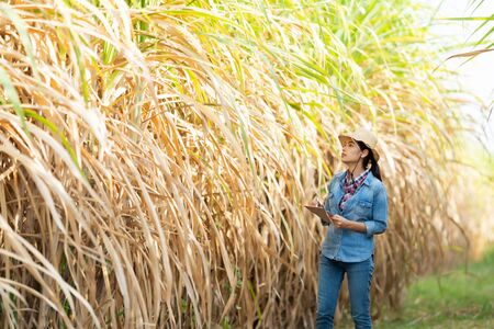 Farmers walk to inspect sugarcane trees on the farm. Stock Photo