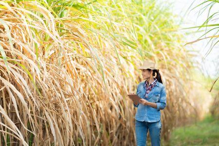Farmers walk to inspect sugarcane trees on the farm. Stock Photo