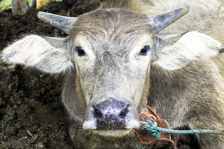 buffalo in Thailand Фото со стока