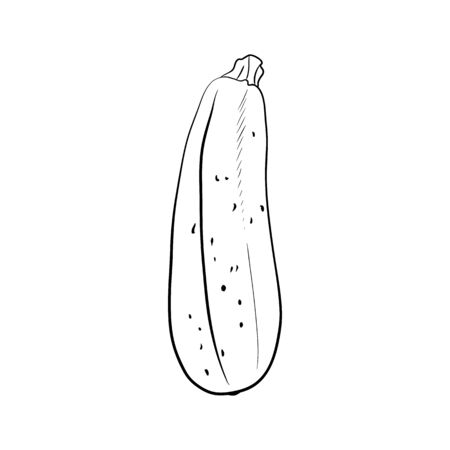 Hand drawn zucchini .sketch for print isolated on white background. Ilustracja