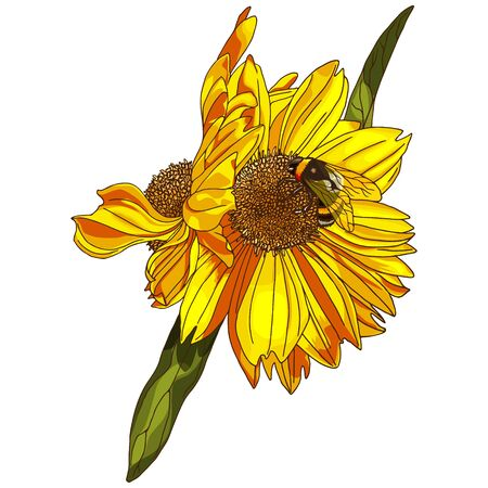 Beautiful sunflower with bumblebee isolated on white background.