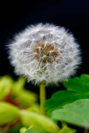 flower bulb: Bulb flower Flower in summer Dandelion clock flower Stock Photo