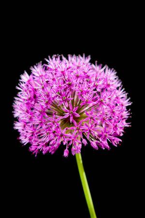 allium flower: Bulb flower Pink Allium Flower in summer Stock Photo