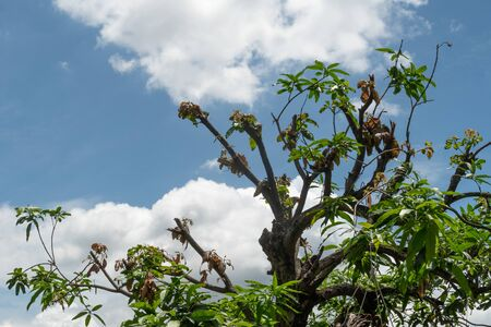The mango tree has been cut branches off against the blue sky and the clouds background.