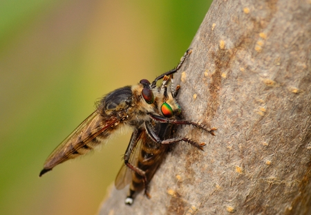 sustainably: Spectacular scene of robber fly hunting a similar insect of the same species