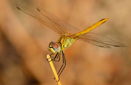 sustainably: Sympetrum dragonfly in equilibrium on a small dry stem