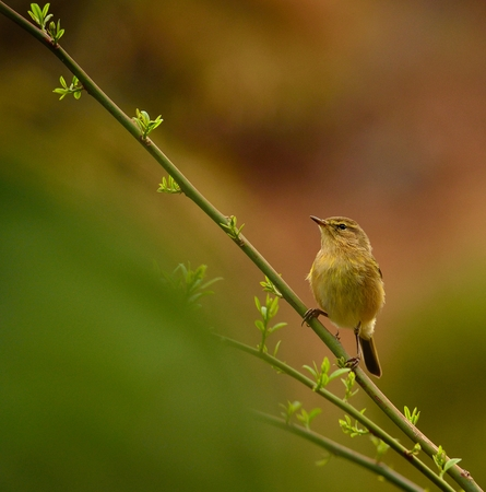 sustainably: Bird fly phylloscopus canariensis on green branch of bush