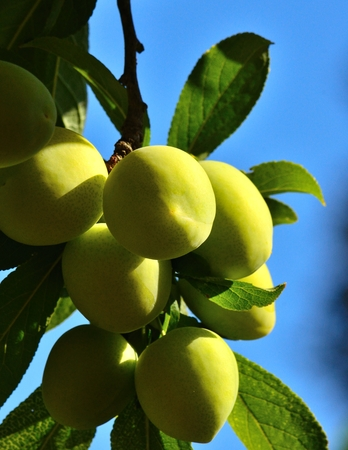 sustainably: Magnificent raceme of juicy green plums