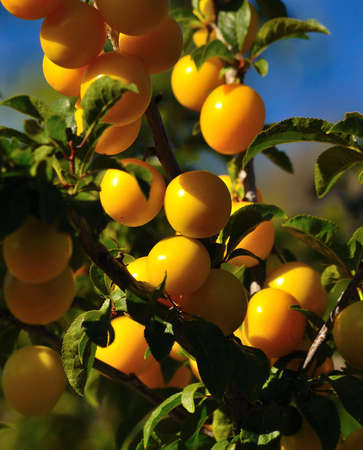 sustainably: Exquisite ripe plums hanging from the branches