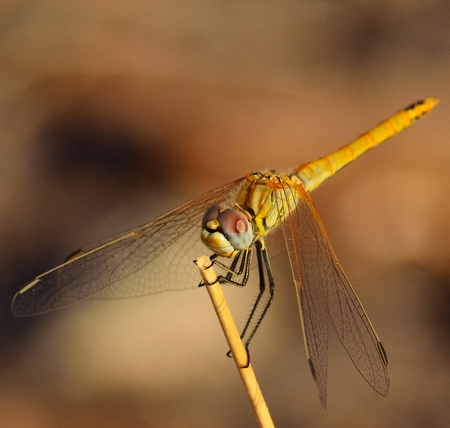 sustainably: Showy sympetrum dragonfly