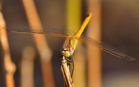 splendide: Splendid sympetrum libellule sur une branche mince sec