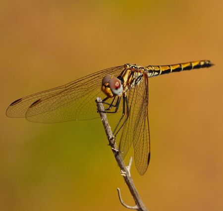 sustainably: Magnificent sympetrum dragonfly on a thin dry stalk Stock Photo