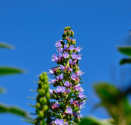 sustainably: Beautiful cluster of small bluish flowers of echium callithyrsum on radiant blue sky