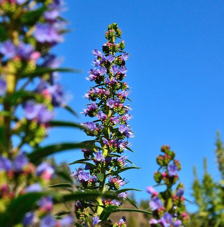 sustainably: Splendid cluster of small  bluish flowers of echium callithyrsum on radiant blue sky Stock Photo
