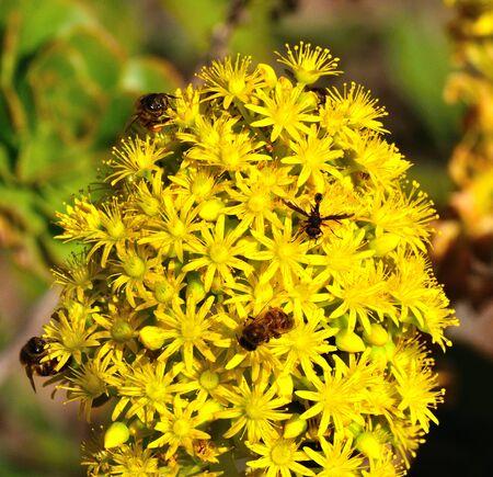essences: Bees and insects on splendid aeonium undulatum Stock Photo
