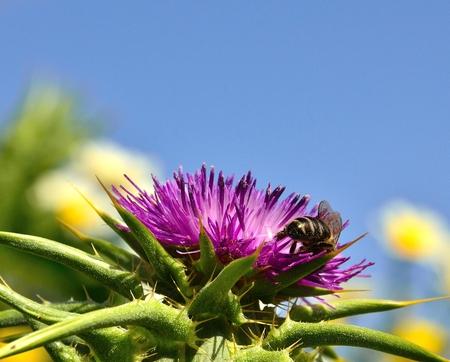 apocrita: Wild flower of milk thistle and bee collecting Stock Photo