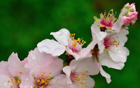 sustainably: Cluster of almond flowers with raindrops