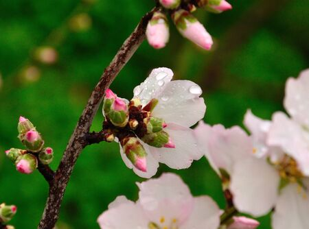 sustainably: Flowers and green buds of almond with raindrops