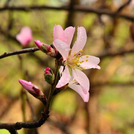 sustainably: Almond flowers and green buds with raindrops Stock Photo
