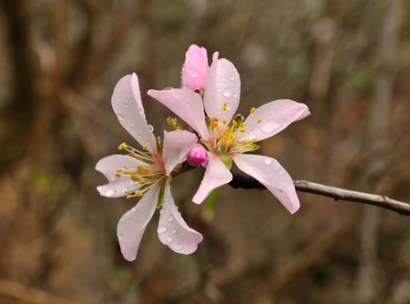 sustainably: Almond flowers with raindrops Stock Photo