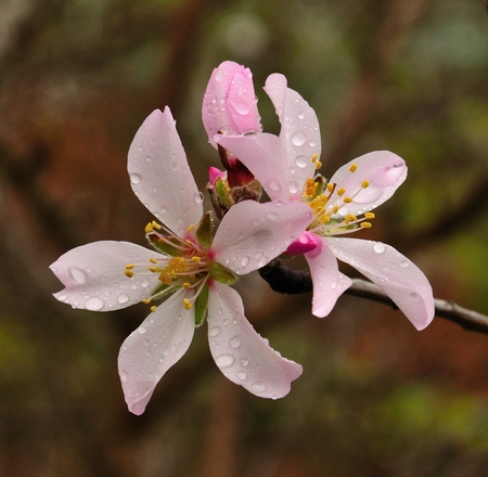 sustainably: Splendid flowers of almond with drops of dew