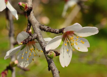 sustainably: Beautiful flowers of almond in all its splendor Stock Photo