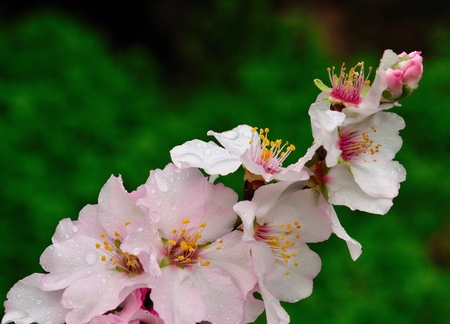 sustainably: Cluster of almond flowers