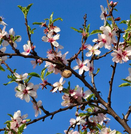 sustainably: Branch of almond tree with many flowers