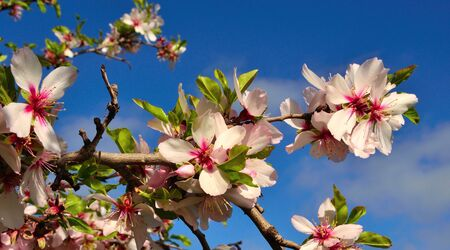 sustainably: Branch of almond tree with splendid flowers