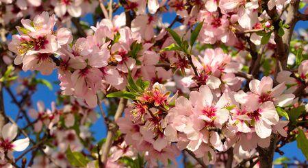 sustainably: Splendid flowers of almond tree Stock Photo