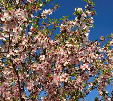 sustainably: Almond tree in full bloom Stock Photo