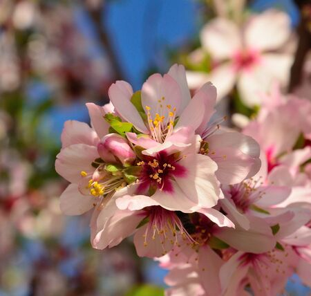 sustainably: Beautiful raceme of almond flowers Stock Photo