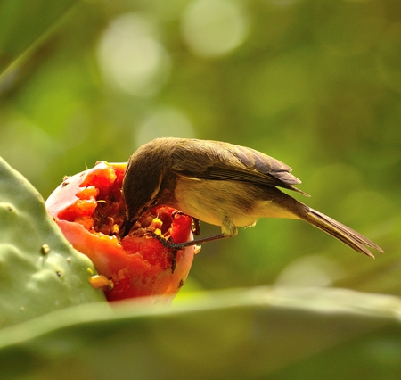 sustainably: Bird phylloscopus eating fresh fruit of prickly pear