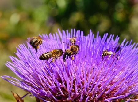 apocrita: Group of bees on artichoke flower
