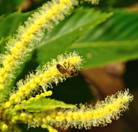 pollinators: Bee on chestnut flowers
